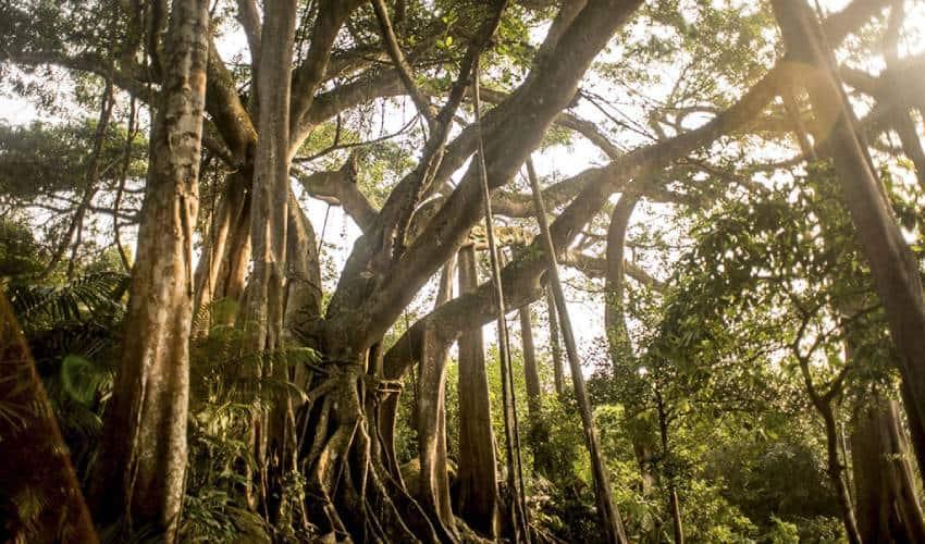 the old banyan tree